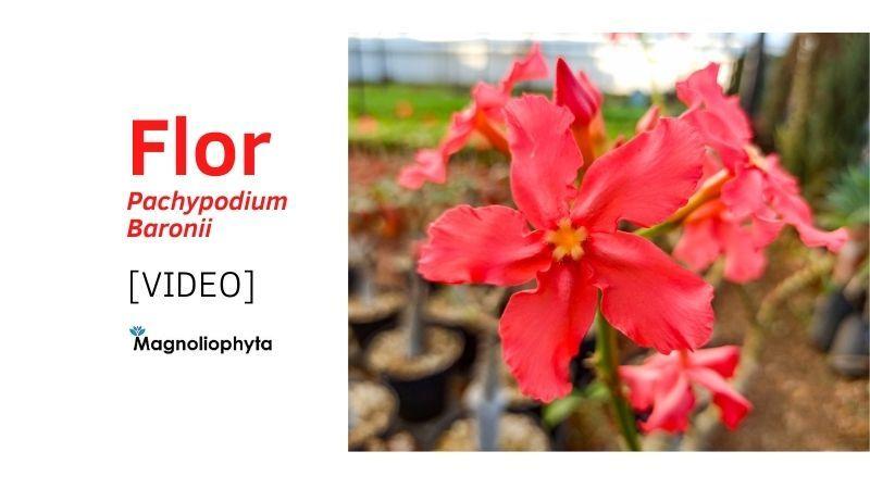 Video Descripción de la flor de Pachypodium Baronii