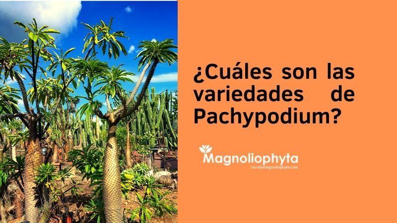 Cuáles son las variedades de Pachypodium - Vivero Magnoliophyta
