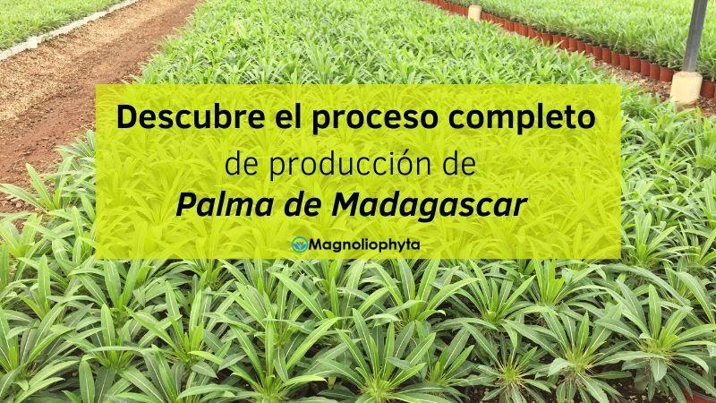 Descubre el proceso completo de producción de Palma de Madagascar