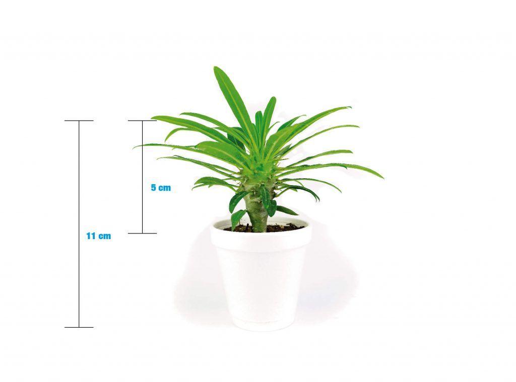 Pachypodium Lamerei 3in Palma de Madagascar Venta - Vivero Magnoliophyta