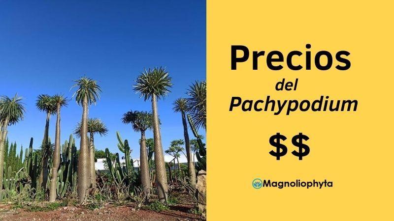 Precios del Pachypodium o Palma de Madagascar