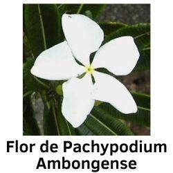 Flor de PAchypodium Ambongense