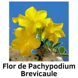 Flor de Pachypodium Brevicaule