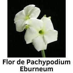 Flor de Pachypodium Eburneum