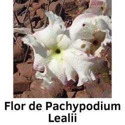 Flor de Pachypodium Lealii