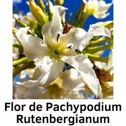 Flor de Pachypodium Rutenbergianum