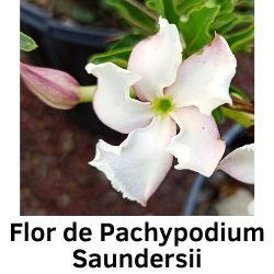 Flor de Pachypodium Saundersii
