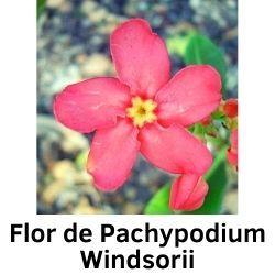 Flor de Pachypodium Windsorii