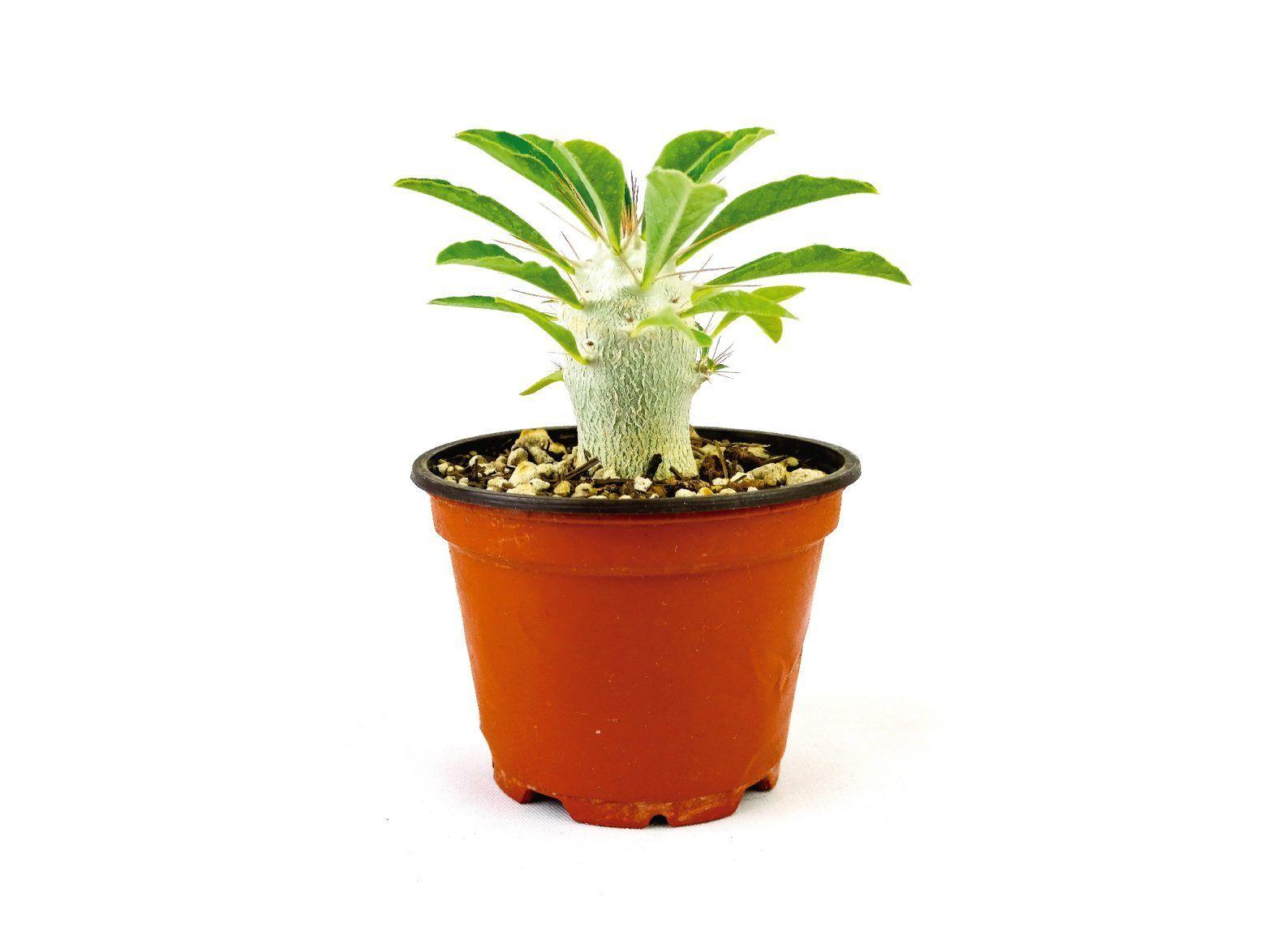 Pachypodium Sanundersii 4 Pulgadas