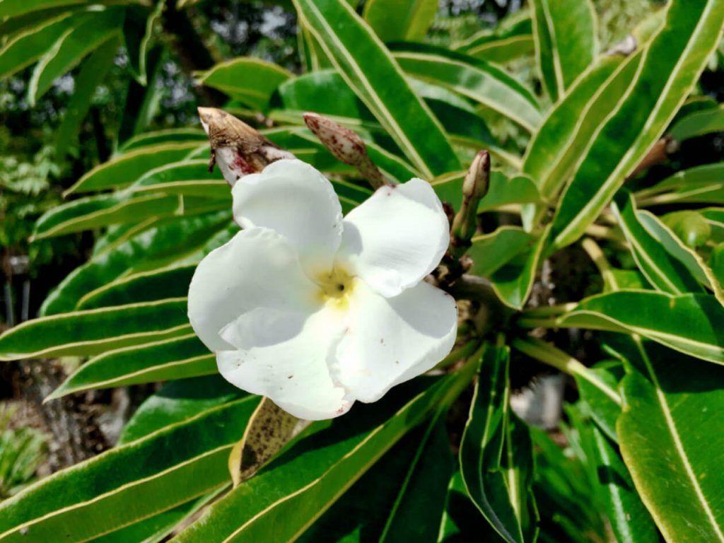 Flor de Pachypodium Lamerei