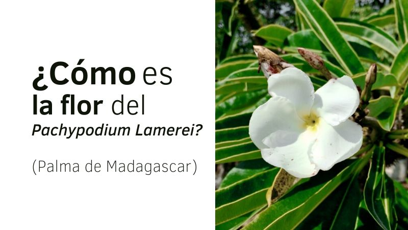 ¿Cómo es la flor del Pachypodium Lamerei??