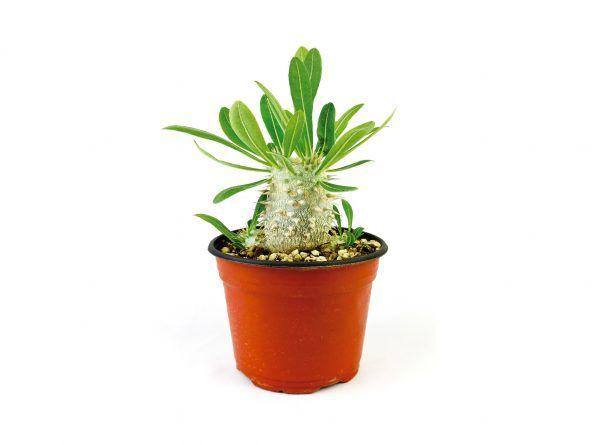 Pachypodium Horombense 6 Pulgadas - Vivero Magnoliophyta