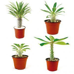 Paquete de Pachypodium Variedades - Vivero Magnoliophyta
