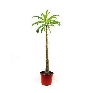 Comprar Pachypodium Rutenbergianum 6 Pulgadas