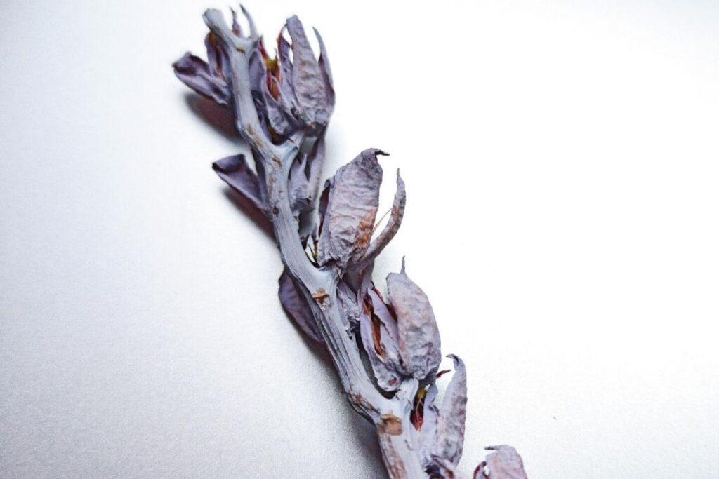 Venta de Semillas de Echeveria Laui - Vivero Magnoliophyta