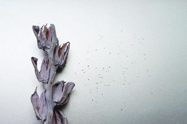 Semillas extraídas de la flor de la Echeveria Laui.