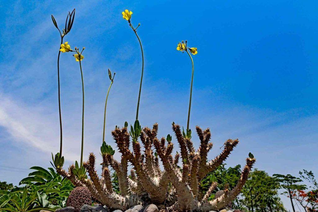 Pachypodium Horombense de Flor amarilla - Venta