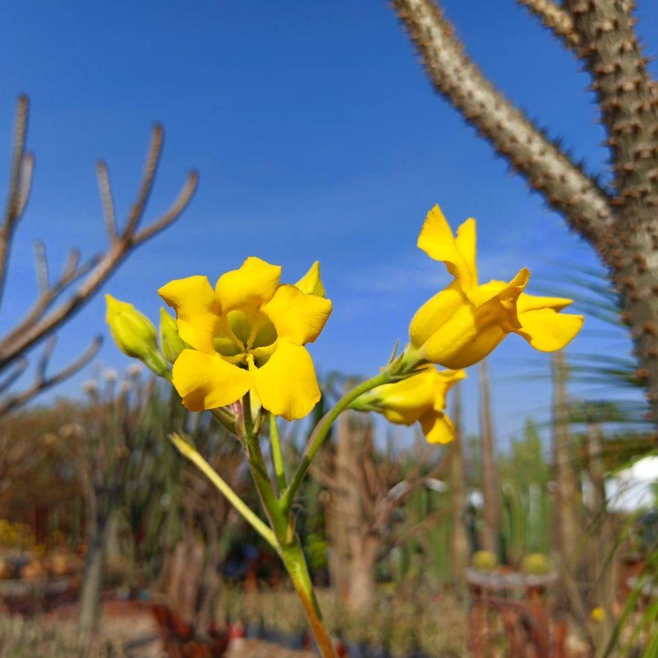 Flores de Pachypodium Horombense - Vivero Magnoliophyta