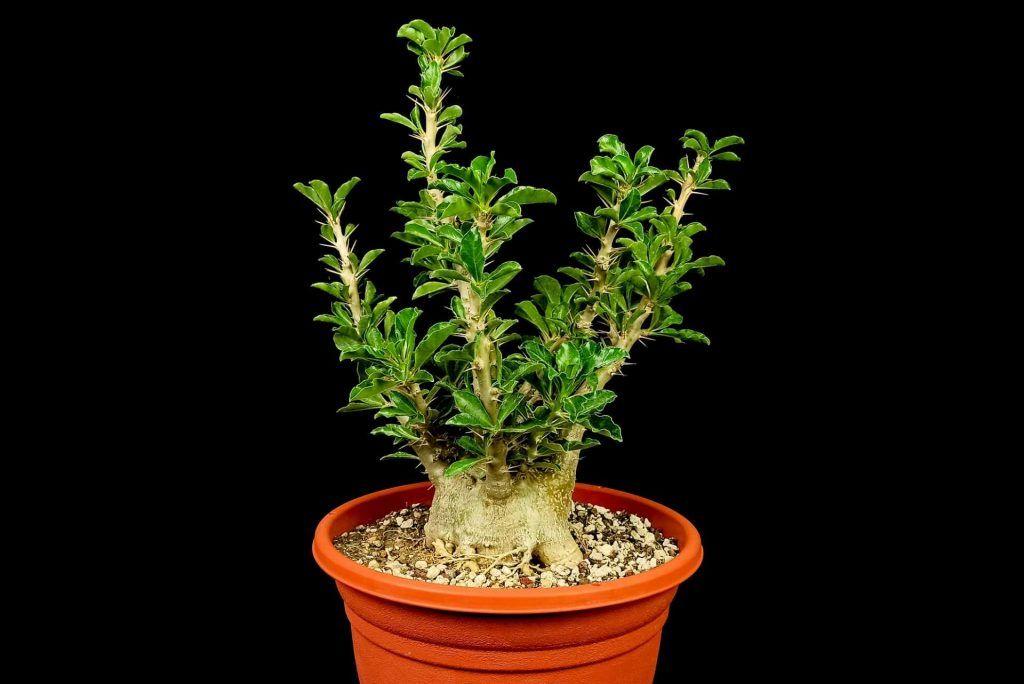 Pachypodium Lealii Saunderii Venta