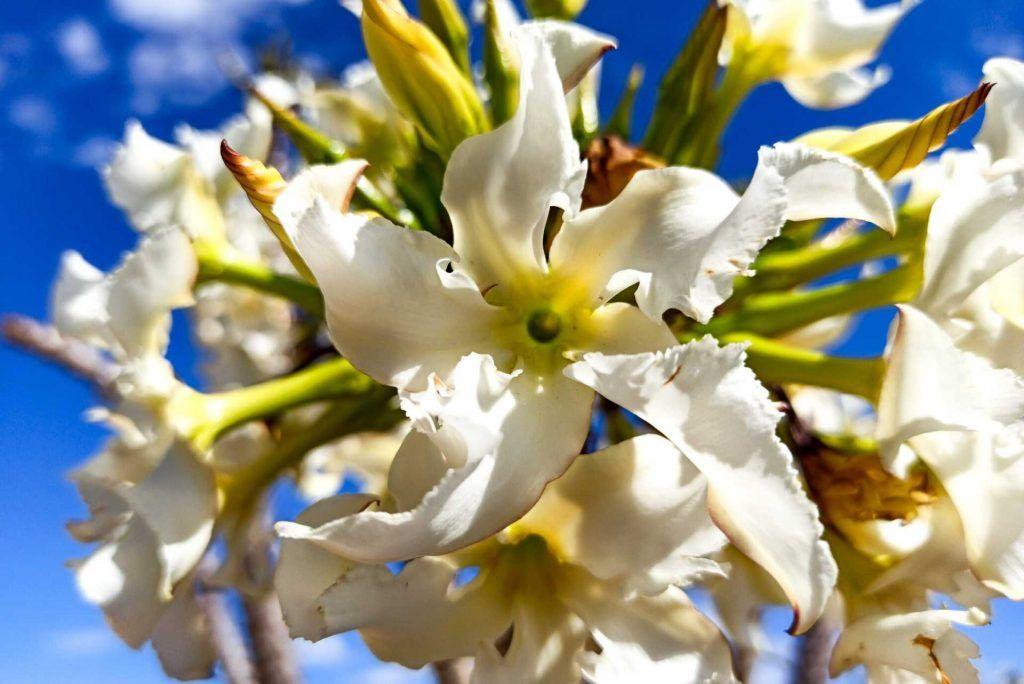 Pachypodium Rutenbergianum Sofiense Flores