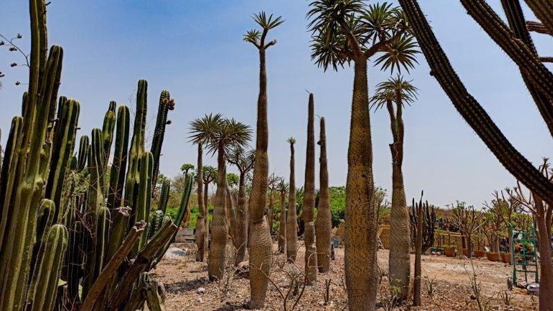 Pachypodium Geayi en vida adulta - Vivero Magnoliophyta