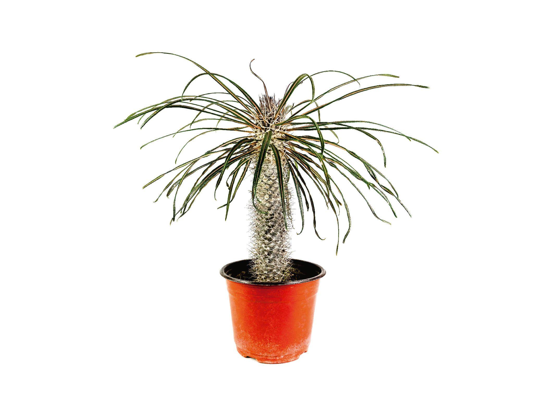 Pachypodium Geayi Venta - Vivero Magnoliophyta