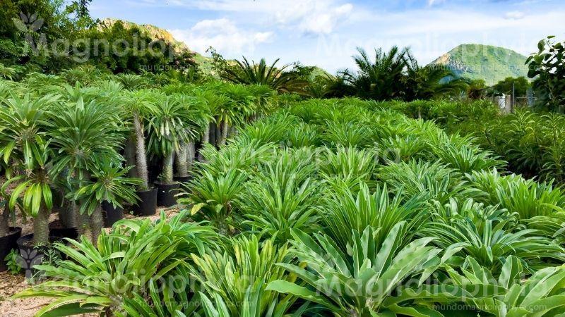 Palma de Madagascar al exterior donde le da el sol directo.