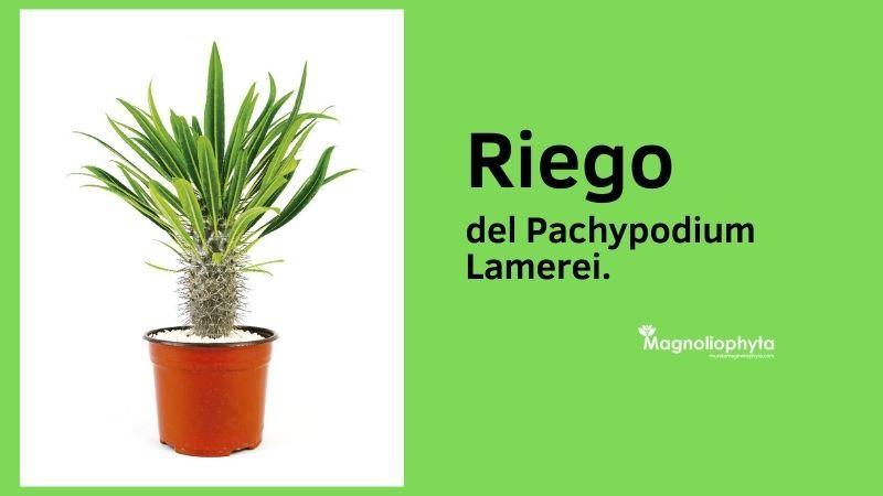 Riego del Pachypodium Lamerei - Vivero Magnoliophyta
