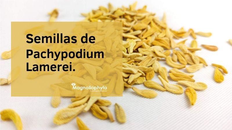 Semillas de Pachypodium Lamerei - Vivero Magnoliophyta.