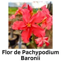 Flor de Pachypodium Baronii