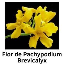 Flor de Pachypodium Brevicalyx.