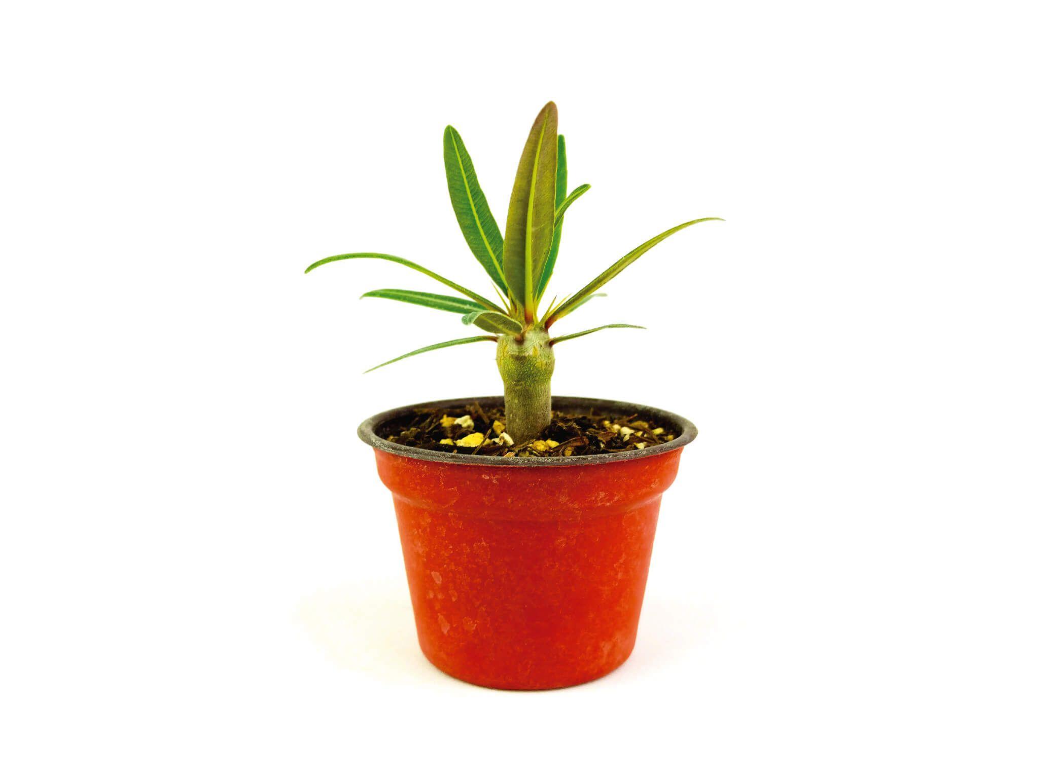 Venta de Pachypodium Rosulatum 3 Pulgadas - Vivero Magnoliophyta