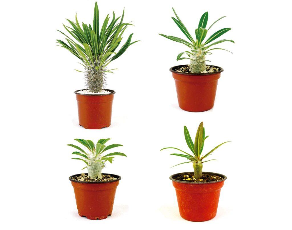 Paquetes de Plantas de Pachypodium - Vivero Magnoliophyta.