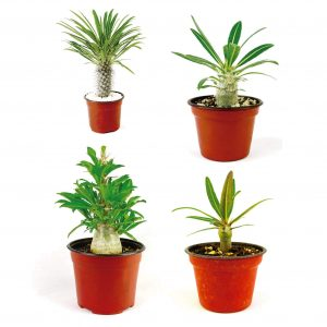 Paquete de Pachypodium diferentes variedades.