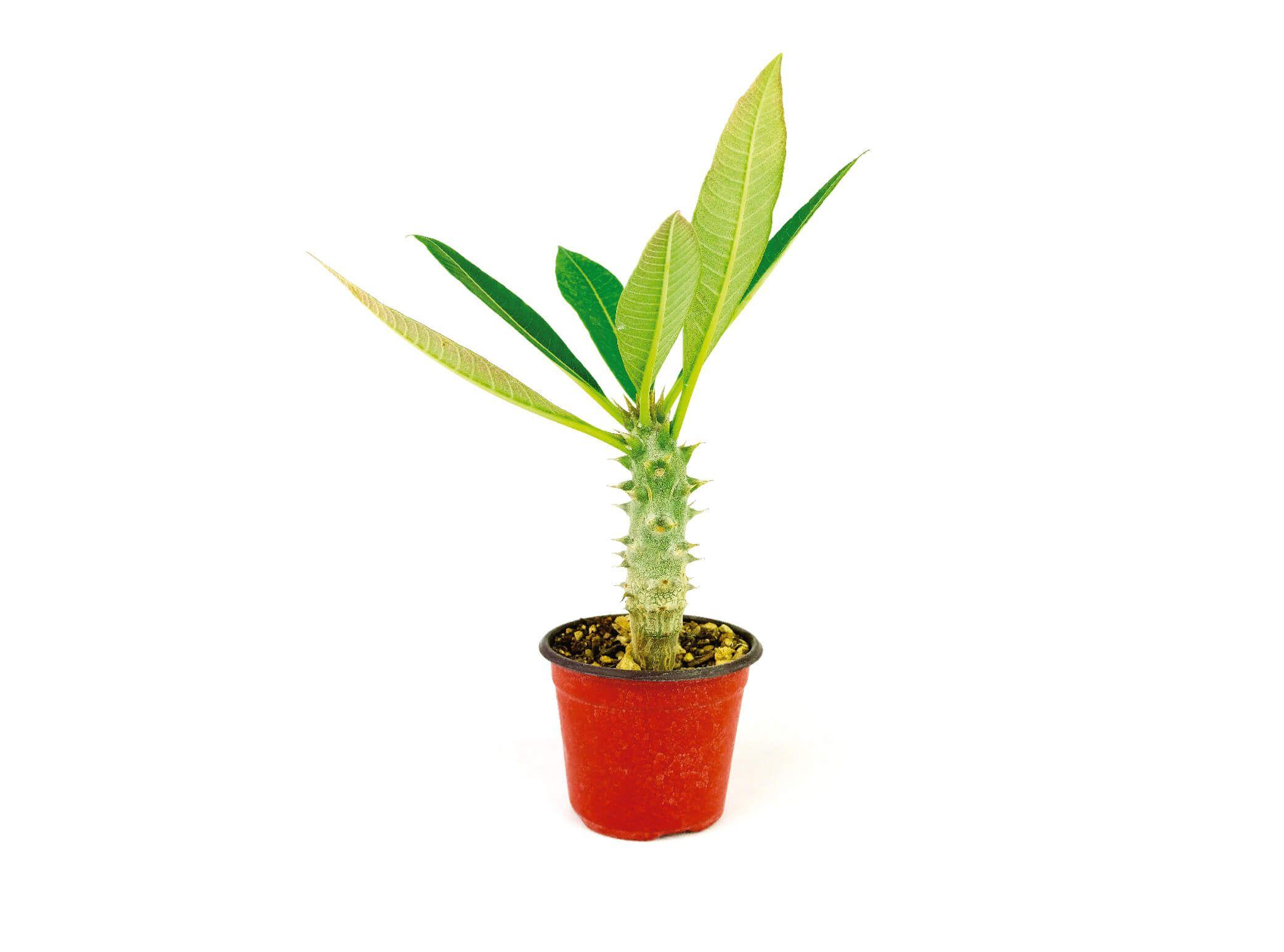 Pachypodium Baronii en Maceta de 4 Pulgadas - Vivero Magnoliophyta