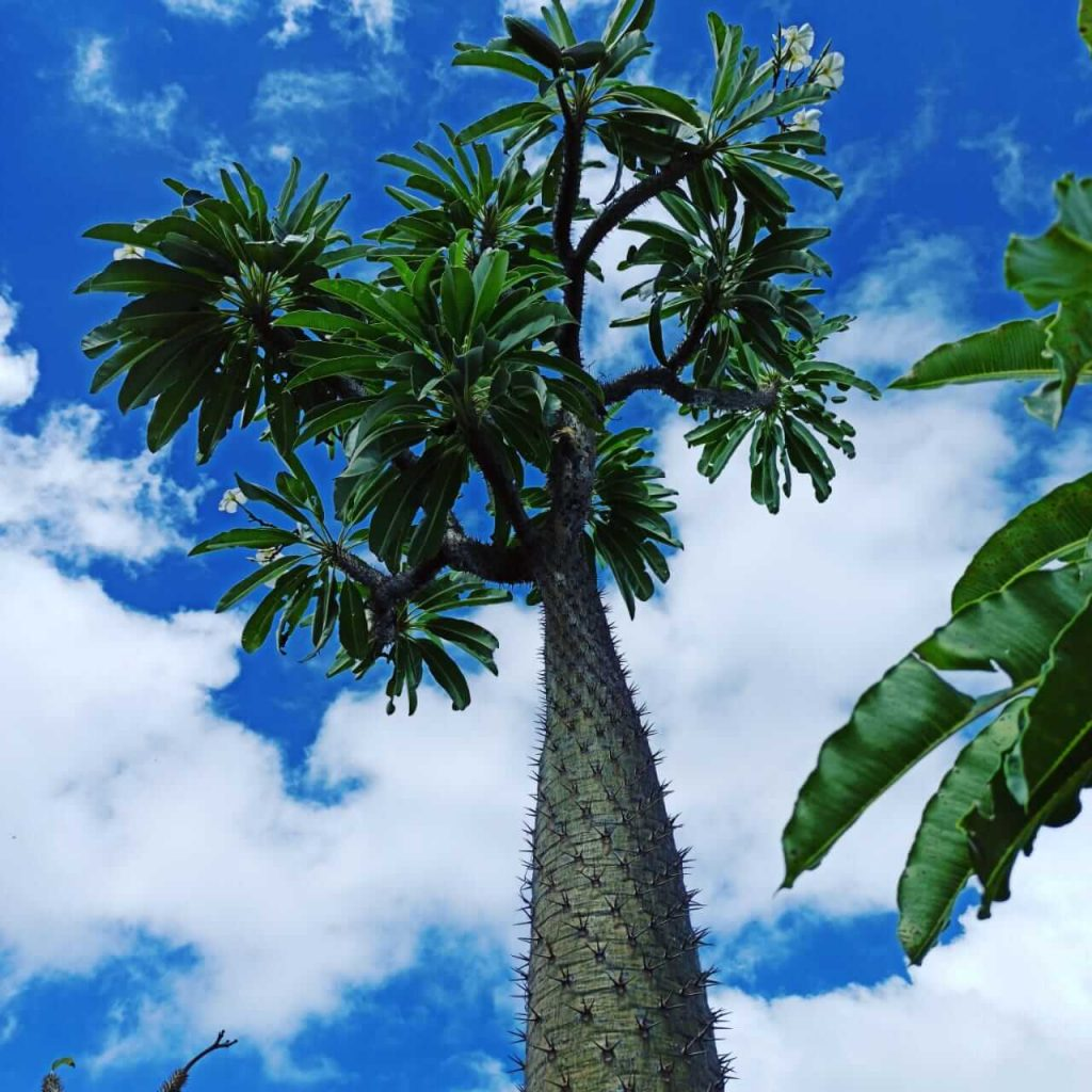 Crecimiento de la Palma de Madagascar. Vista hacia lo alto.