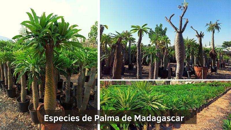 Especies de Palma de Madagascar o Pachypodium Lamerei - Vivero Magnoliophyta