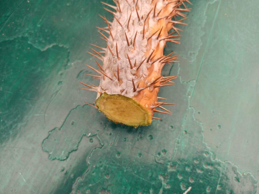 Esqueje de Palma de Madagascar o Pachypodium Lamerei.