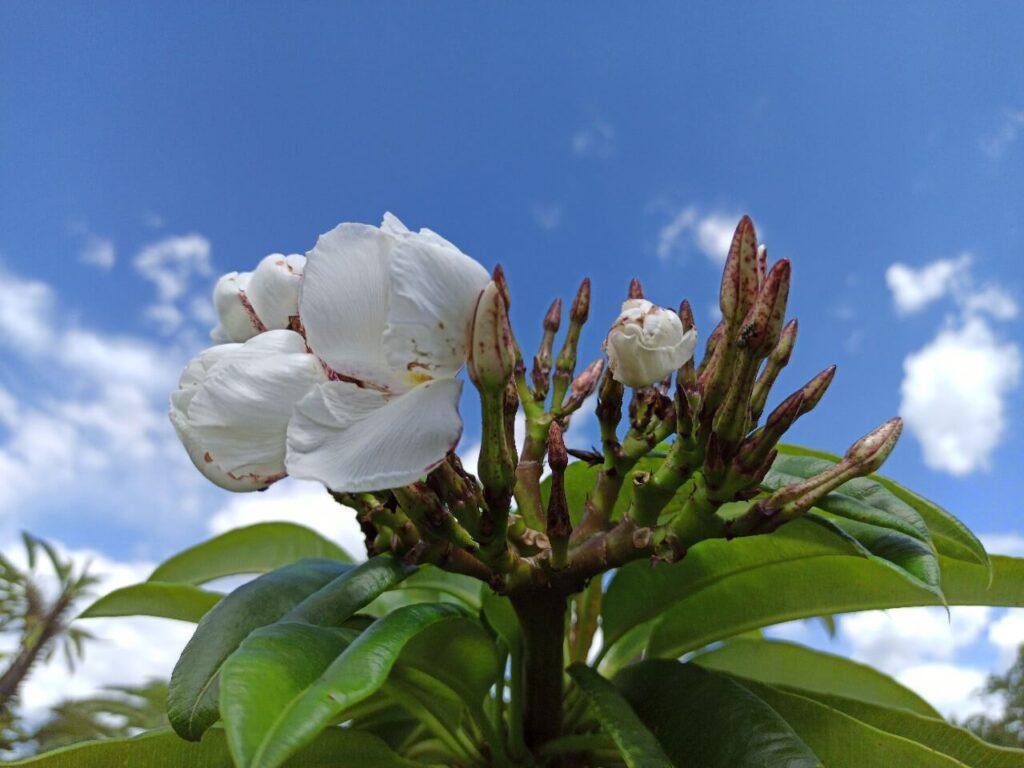 Flores blancas de cactus de Madagascar. Vivero Magnoliophyta.