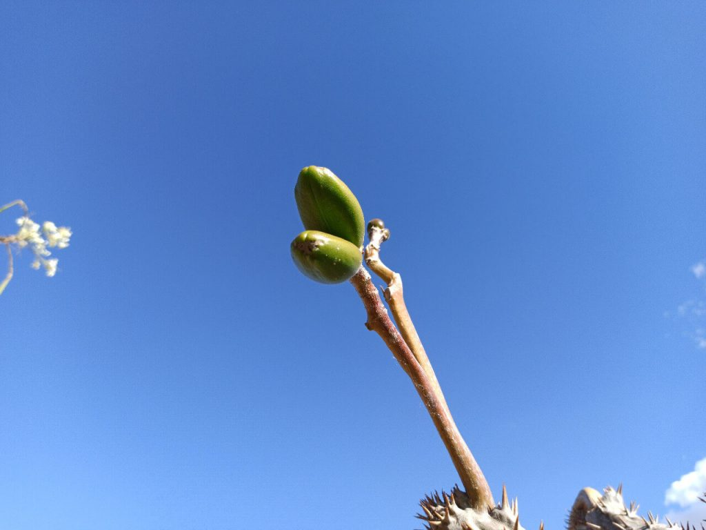 Fruto del Pachypodium Lamerei - Vivero Magnoliophyta