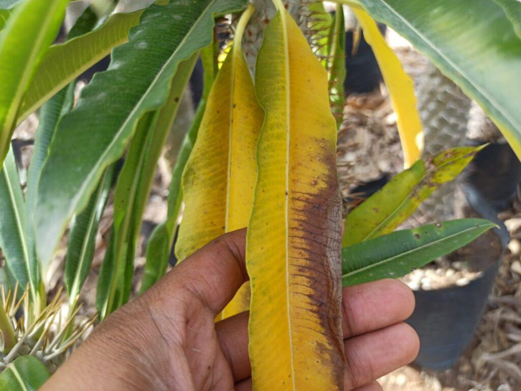 Hojas amarillas de un Pachypodium Lamerei