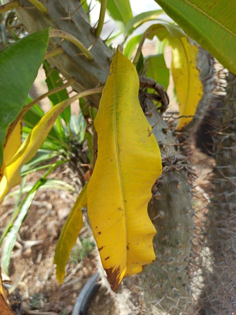 Hojas amarillas en una Palma de Madagascar - Vivero Magnoliophyta