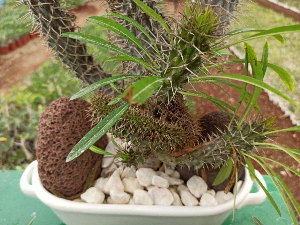 Palma de Madagascar crestada