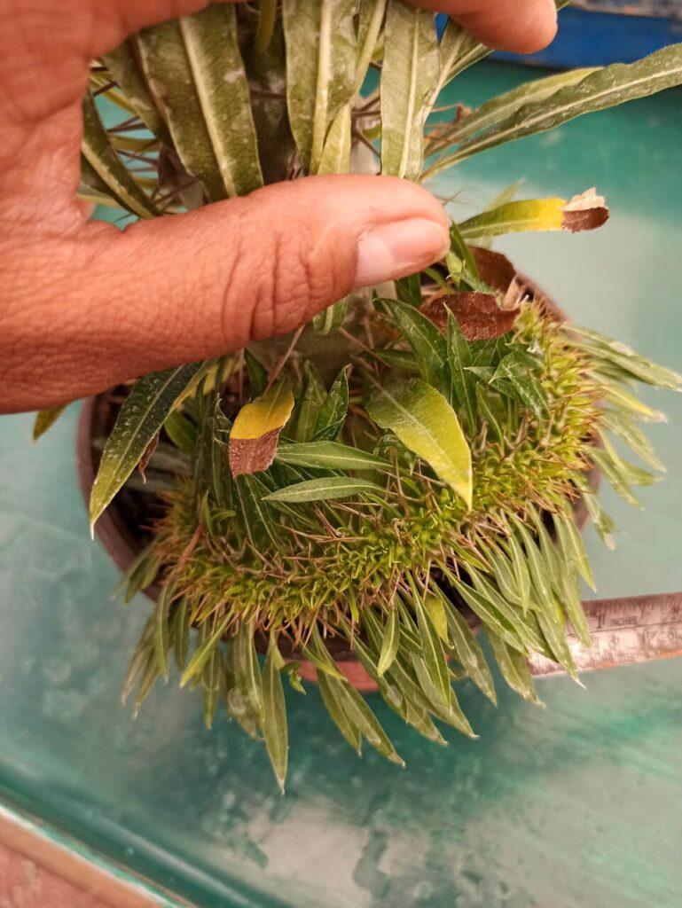 Palma de Madagascar Cristata