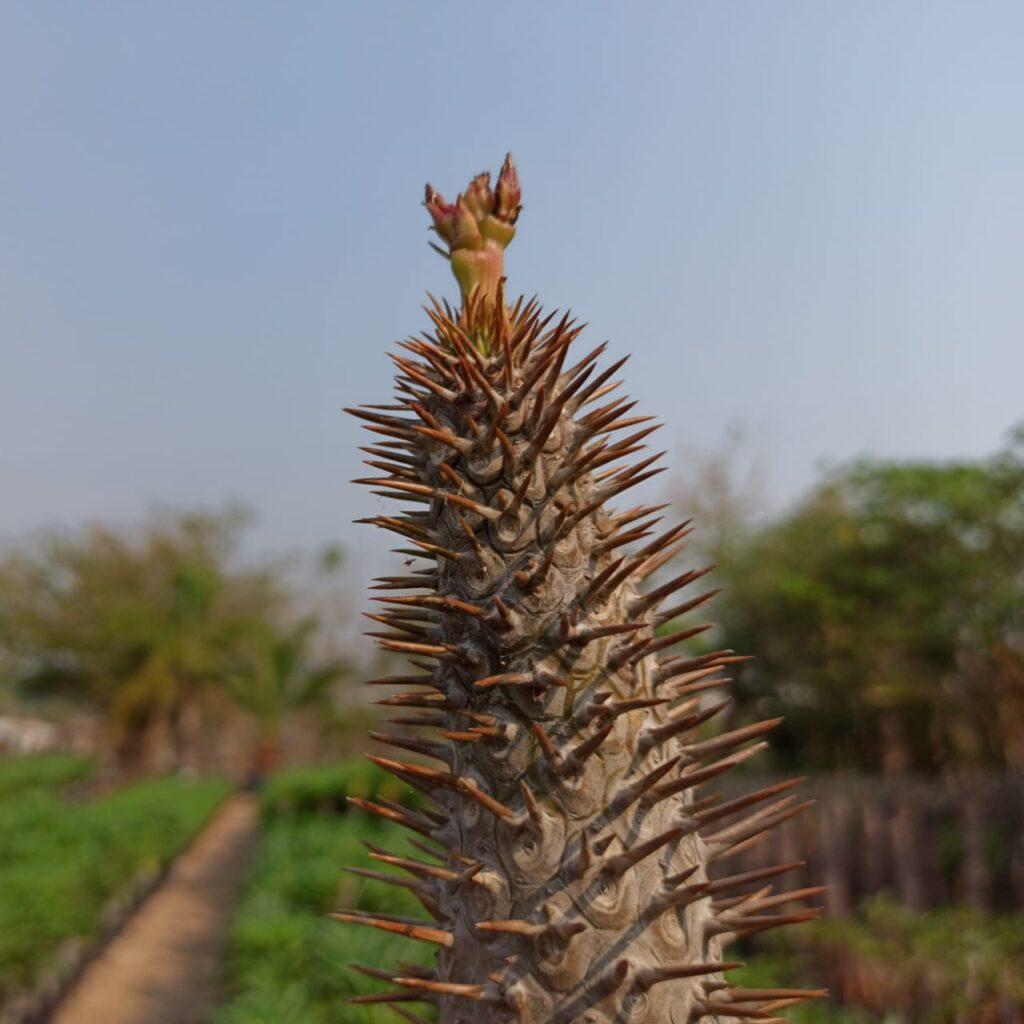 Ejemplo de una Palma de Madagascar sin hojas.