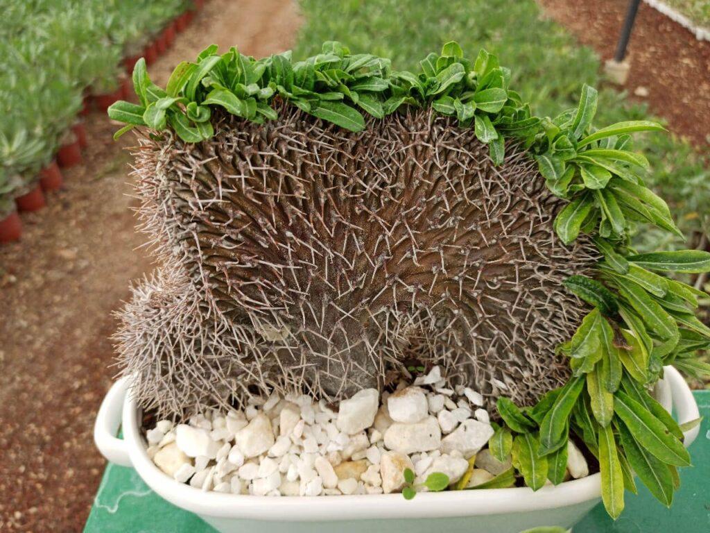 Palmera de Madagascar crestada