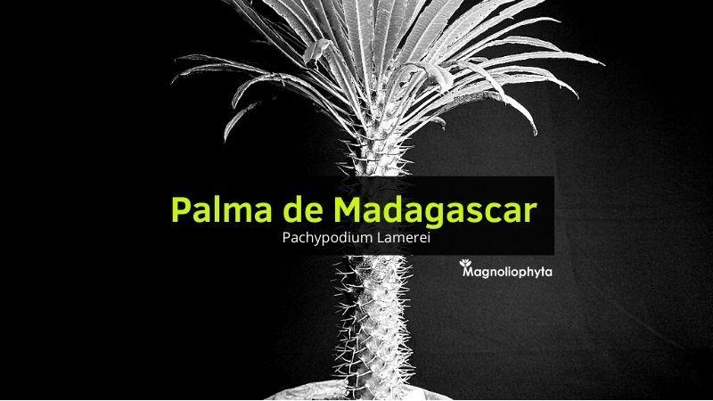 Palma de Madagascar o Pachypodium Lamerei