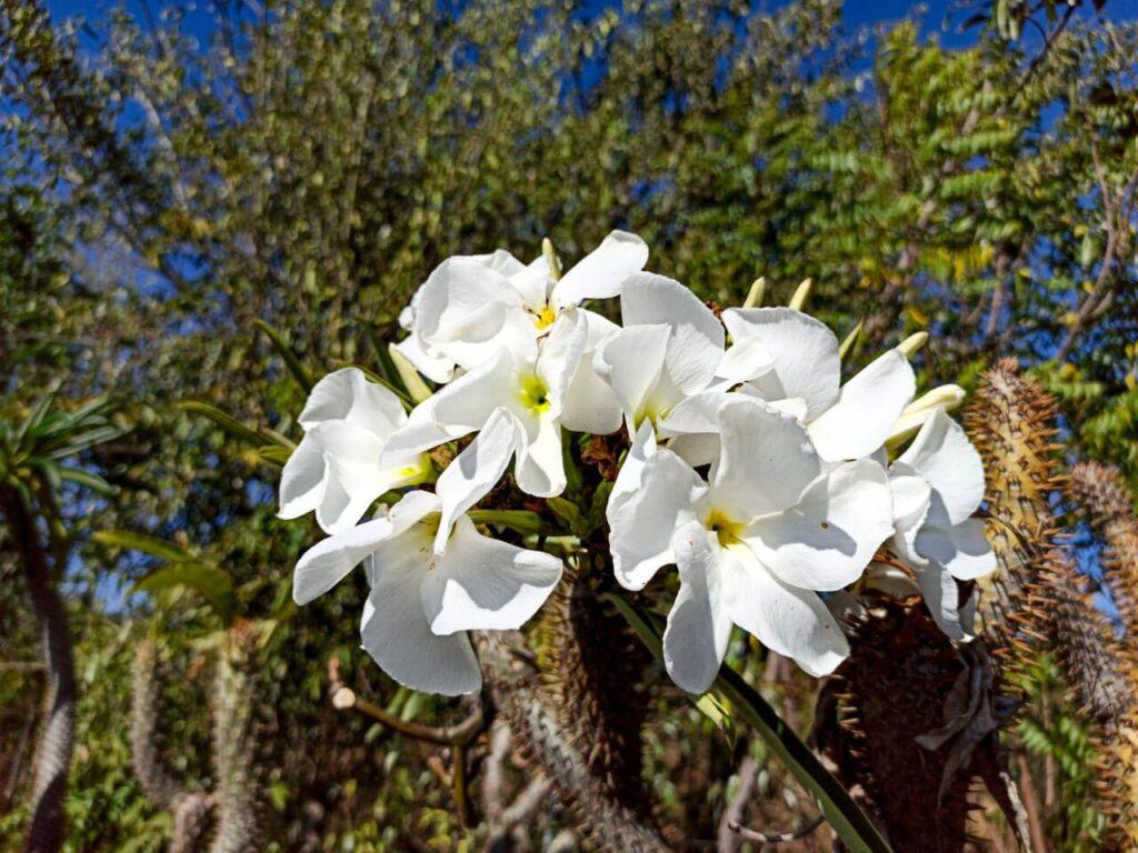 Racimo floral de Palma de Madagascar
